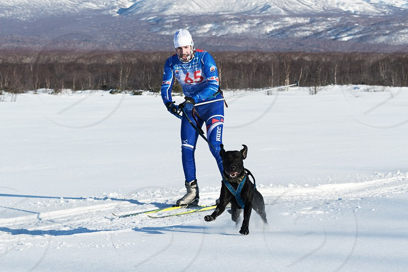 PETROPAVLOVSK-KAMCHATSKY KAMCHATKA PENINSULA RUSSIA - DEC 10 2016: Sportsman skier-racer Klimov Ivan and sled dog metis Butch. Skijoring (skijor races) - competition for Cup of Kamchatka Region. photo
