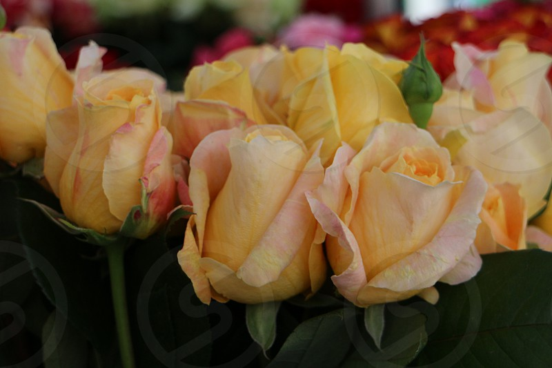 it doesn't have to be Red White or Pink Roses... Yellow can be so beautiful as well <3 photo
