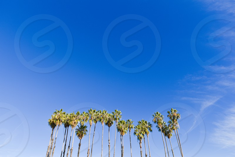palm tree palms trees sky blue california southern california santa barbara los angeles group cluster together photo