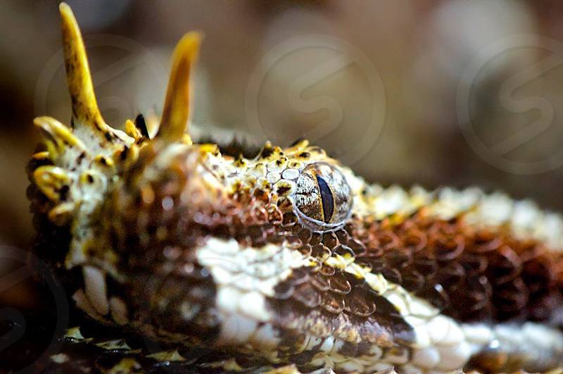Horned Viper extremely dangerous and deadly taken up close.  photo