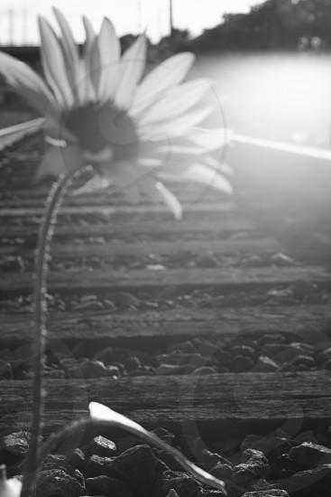 Black and white Fine Art Title:The Daisy photo