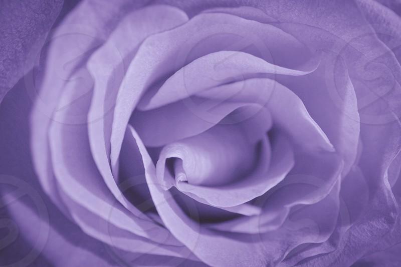 Purple rose  photo