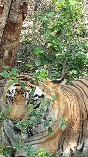 Tiger Safari at Tyavere Koppa Shimoga photo