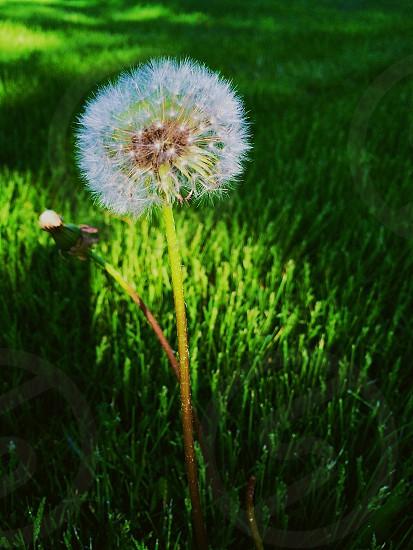 Linen faded. White dandelion.  photo