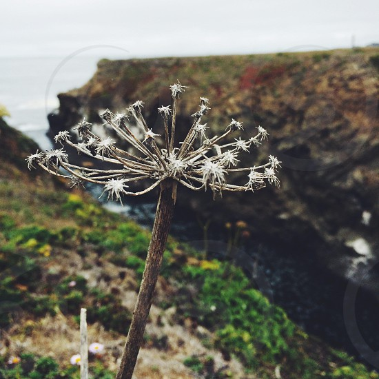 close view of a dandelion photo