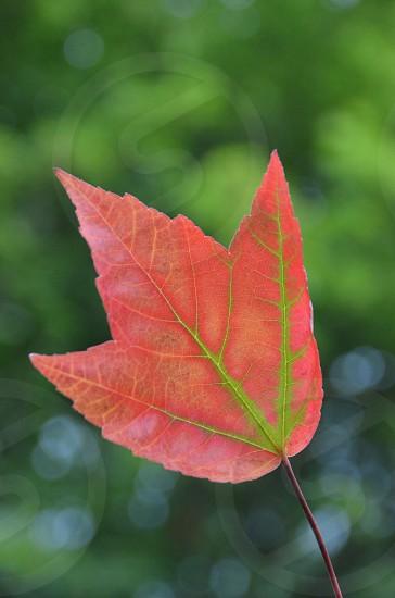 Portland Oregon Fall foliage red leaf photo