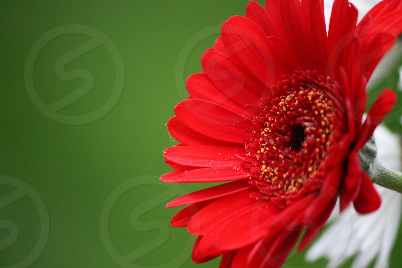 selective focus photography of red gerbera flower photo