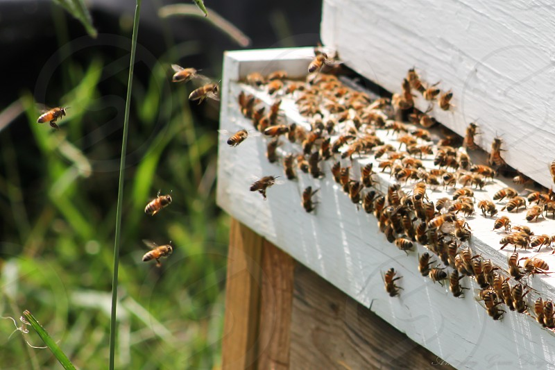 Honeybees making their way to the hive. photo