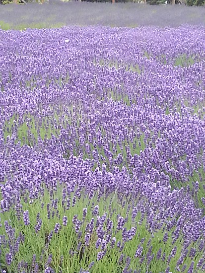 Flower lavender  photo