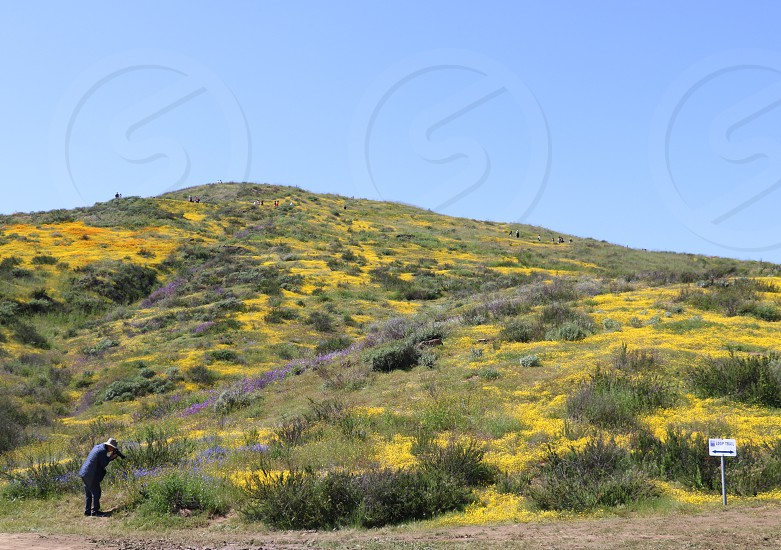 Seen in the distance a man bends to take a picture near a large hill with yellow flowers photo