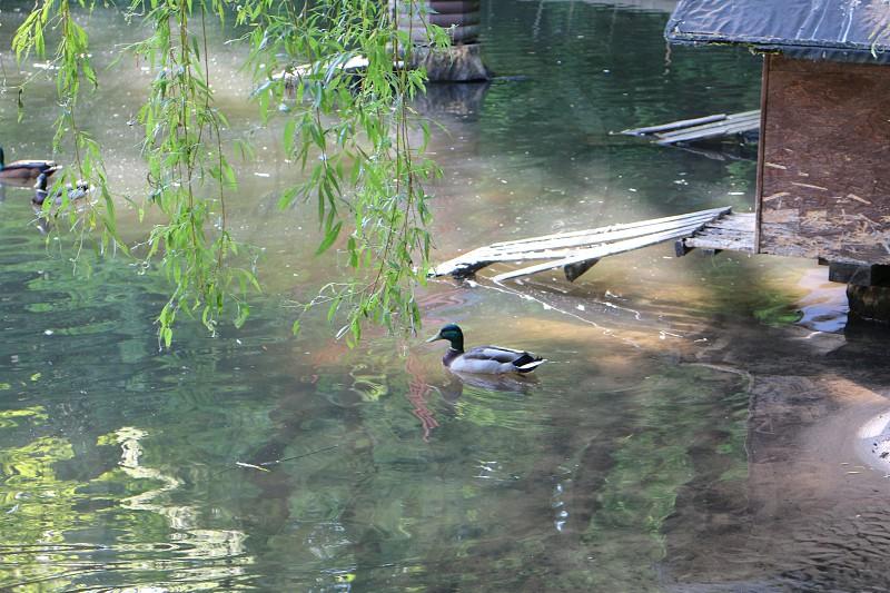 mallard duck on water by green tree at daytime photo