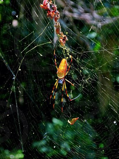 Edisto Island Silk Spider photo