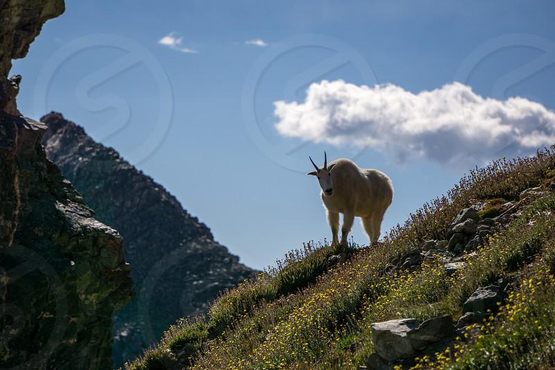 A defensive Mountain Goat on Grays Peak Colorado. photo