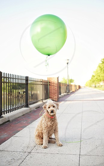 brown poodle with green balloon photo