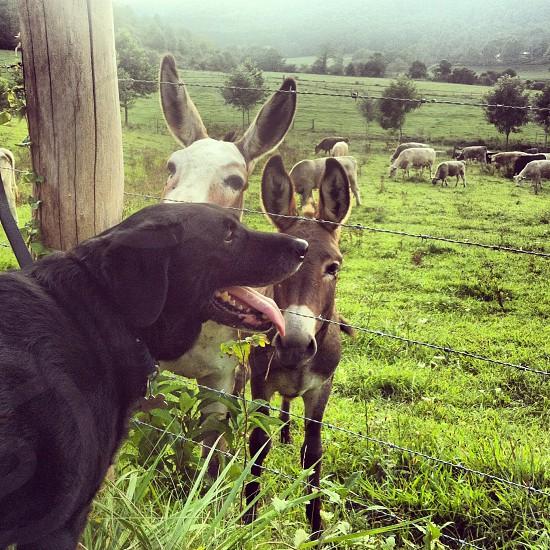 Black lab and donkeys. photo