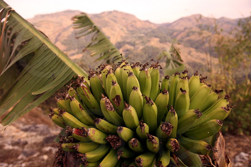 The Landscape with Bananas at the village of Moubisse in the south of East Timor in southeastasia. photo