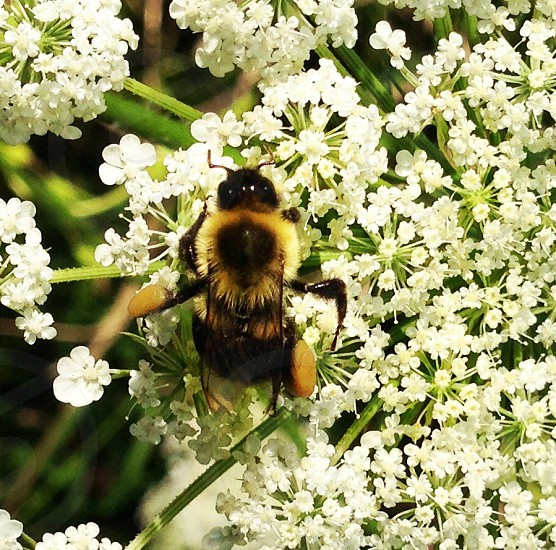 A fuzzy bee with tiny white flowers.  photo