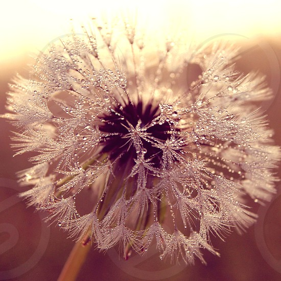 Dew on the dandelion morning view sunlight. photo