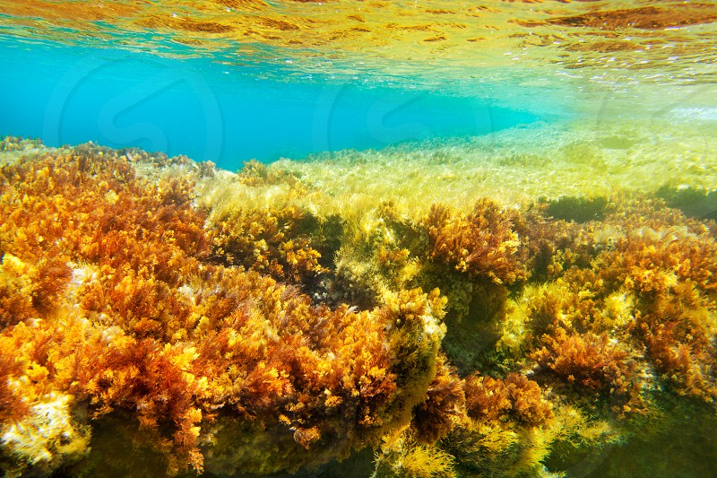 Ibiza Formentera underwater anemone seascape in golden and turquoise photo