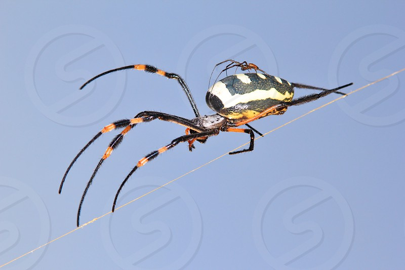 A male (the smaller guy on the back of the larger one) Golden Orb Web Weaver starts the mating ritual as seen in the wilds of Namibia southwestern Africa.  photo