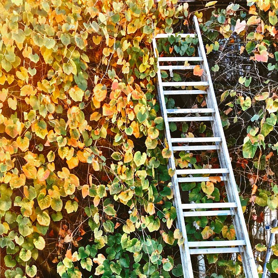 Ladder against vine-covered wall photo