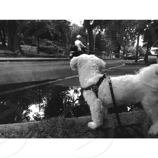 gray scale photo of a poodle with dog harness photo