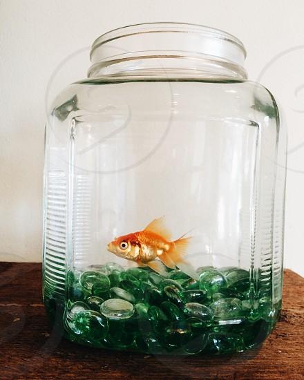 • gold fish in fish bowl • photo