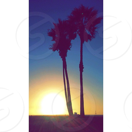 Palm Trees in Venice Beach California  photo