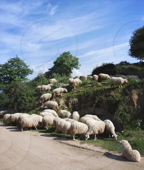 herd of sheep on green grassy hill by dirt road on sunny day photo