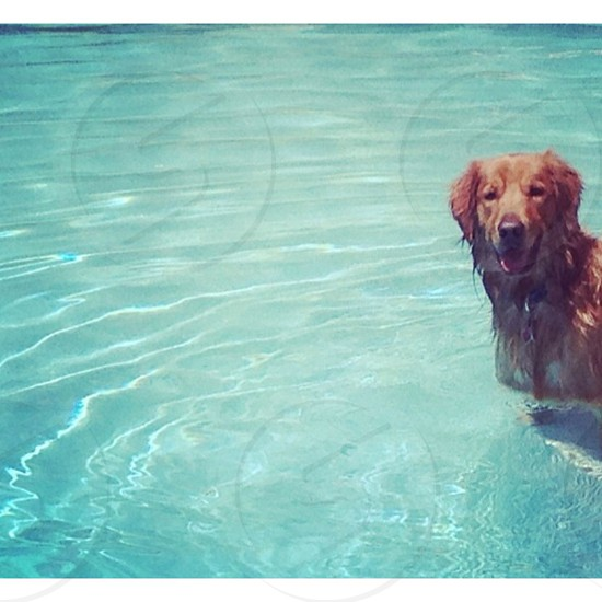 brown dog swimming on pool photo