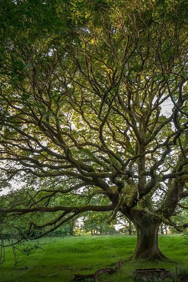 oak tree on green field photo