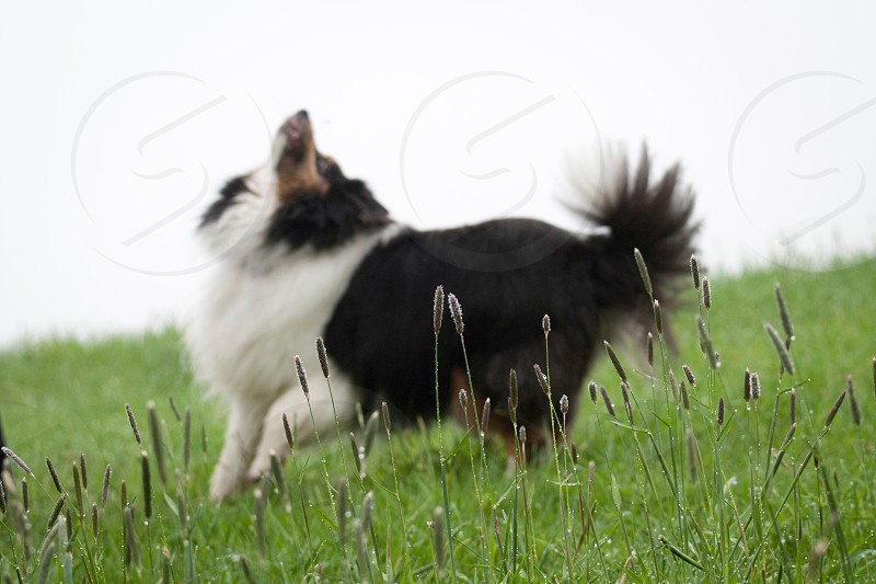 black and white haired dog looking up photo