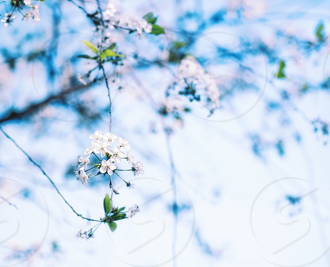 Blooming cherry in Moscow Botanical garden photo