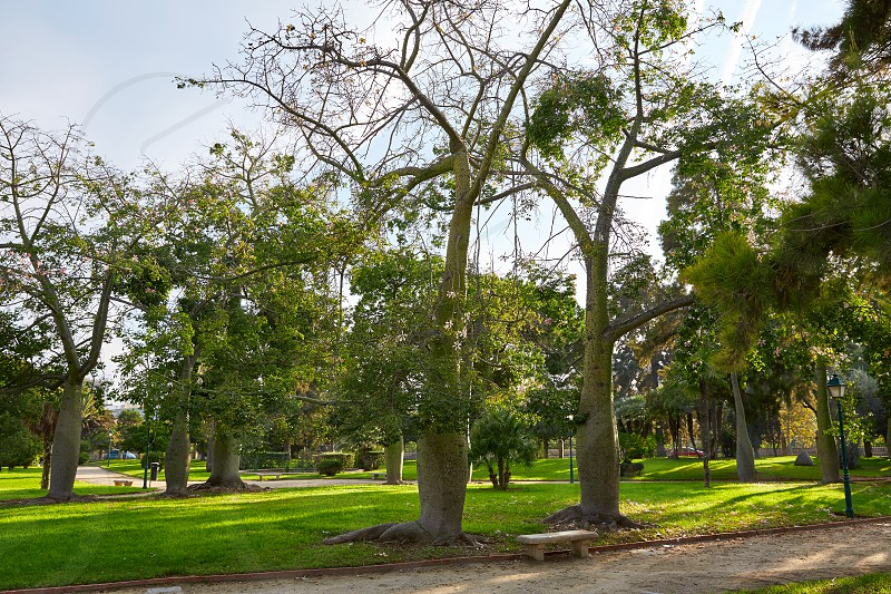 Ceiba trees in Turia river park of Valencia at Spain photo