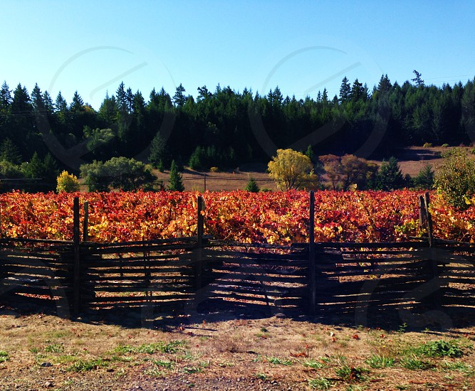 Wine country in the fall with red and yellow vineyard brown wooden fence and green trees photo
