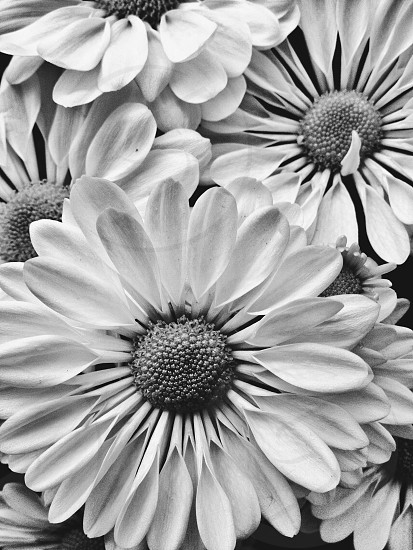 Close up cut flower heads in black and white photo
