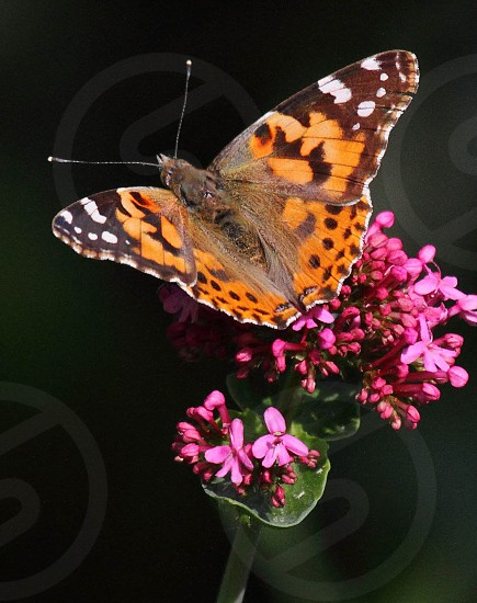 painted lady butterfly photo