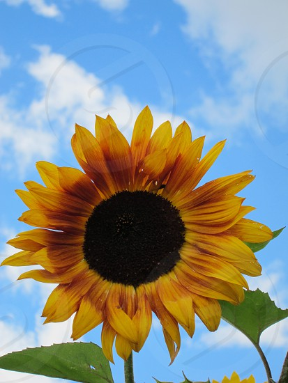 Sunflower against bright blue sky photo