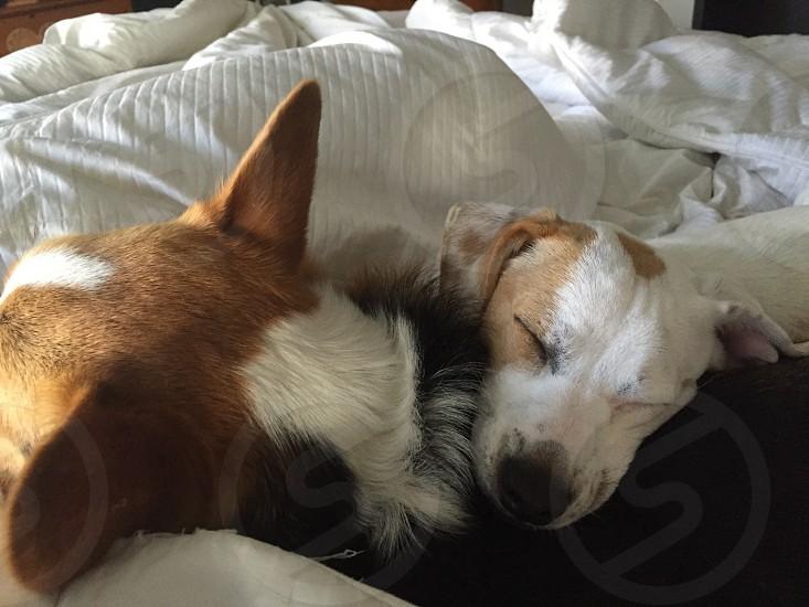 Beauty pups sleeping on my bed.  photo