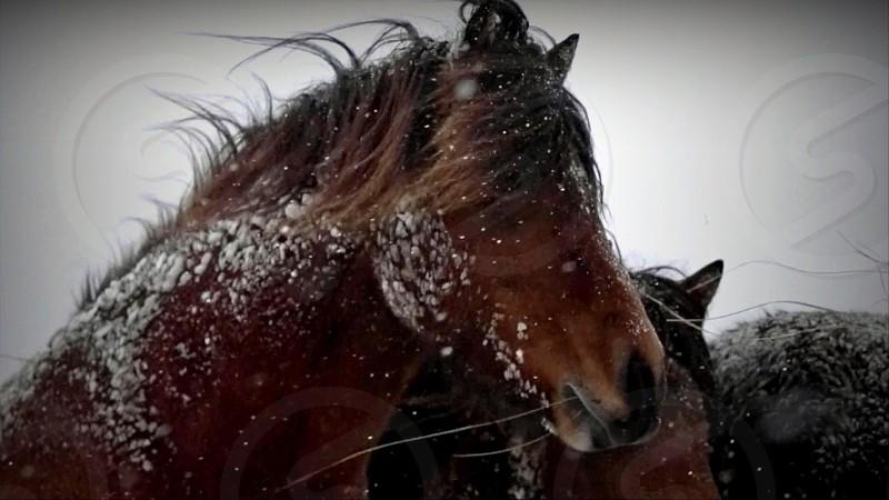 horsescoldsnow photo