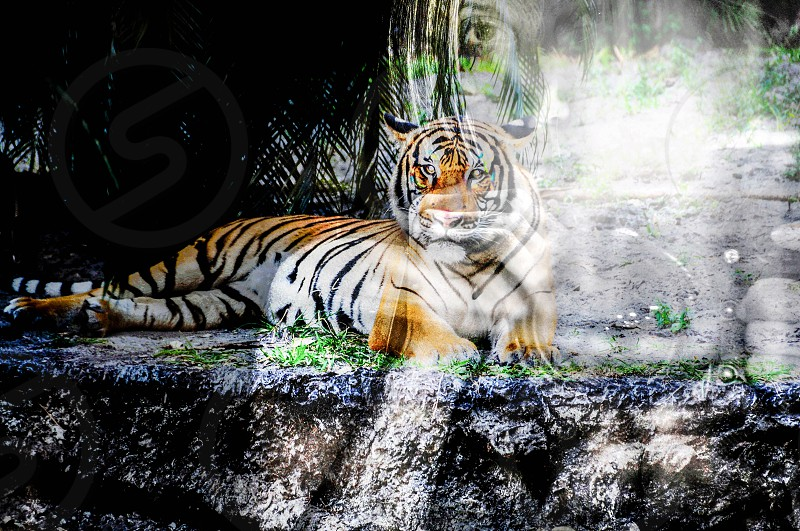 filmmaker abstract tiger photographer self-portrait  photo