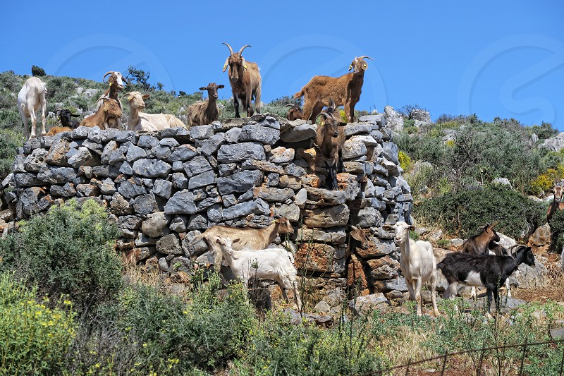 herd of Goats in crete mountains (Greece). traditional farming. photo