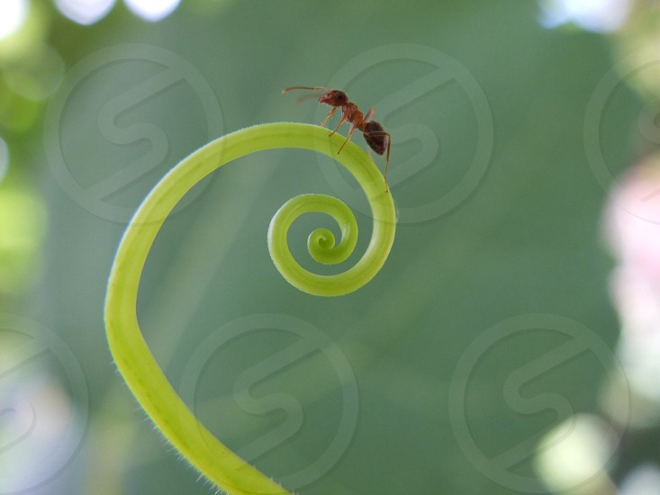 brown leaf ant on green fiddle head photo