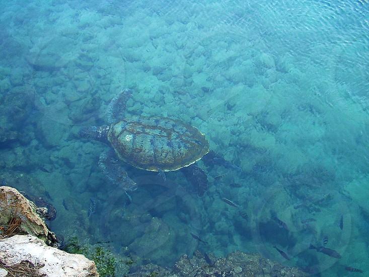 turtle swimming in the Caribbean Sea translucent aruba photo