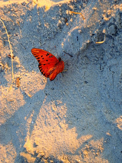 Butterfly at sunrise Hilton Head SC photo
