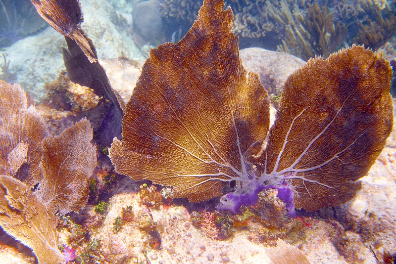 Gorgonian coral Great Mayan Reef in Riviera Maya of Caribbean Mexico photo