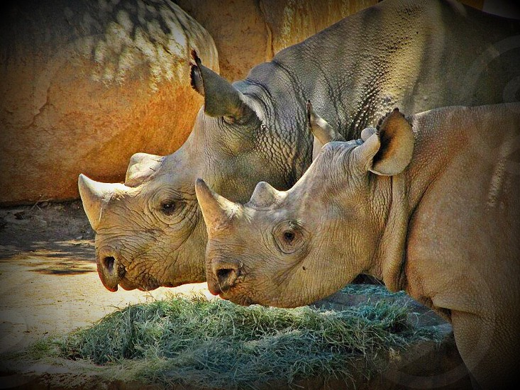 set of 2 rhinoceros family standing near rock photo