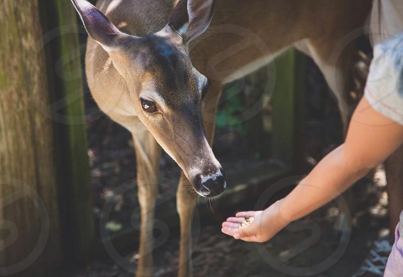 girl feeding brown deer photo