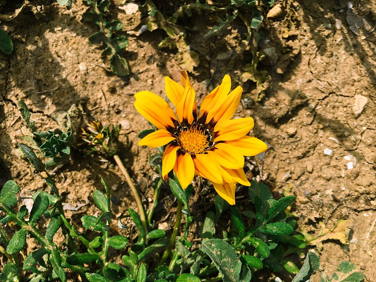 Flower yellow garden blooming springtime macro dirt plant bright colorful photo