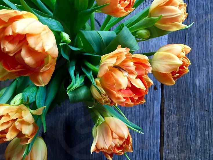 Orange Parrot Tulips in Bloom photo